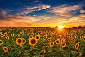Фотографии Подсолнухи Рассветы и закаты Небо Поля Солнца Природа