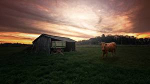 Обои Рассветы и закаты Корова Взгляд Трава Scheune Животные картинки