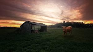 Фотографии Рассвет и закат Корова Смотрит Трава Scheune животное
