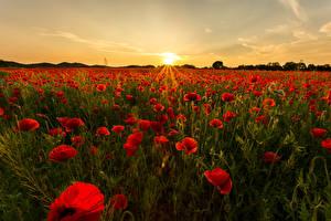 Фотография Рассветы и закаты Маки Поля Солнце