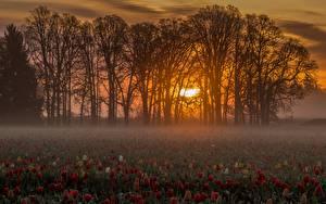Картинки Рассветы и закаты Тюльпан Много Поля Деревья Тумане Солнце Природа