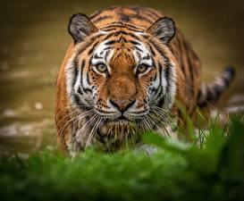 Картинка Тигры Смотрят Морды