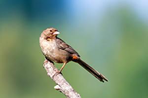Фотография Птицы На ветке Боке California Towhee Животные