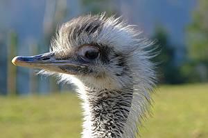 Картинки Птицы Крупным планом Страус Голова Клюв Боке животное