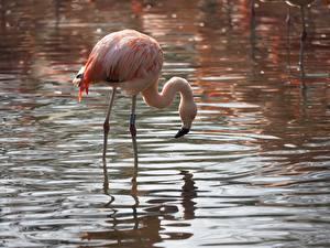 Фотография Птицы Фламинго Вода Животные