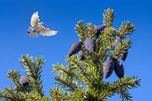 Картинка Птицы Голубь Ветка Летит Шишка Животные