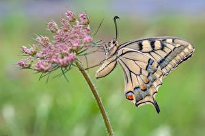 Картинки Бабочки Насекомые Крупным планом machaon