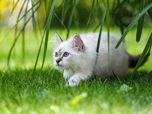Обои для рабочего стола Коты Бирманская кошка Белый Трава животное