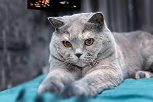 Обои для рабочего стола Кошки Британская короткошёрстная Серая Взгляд Животные