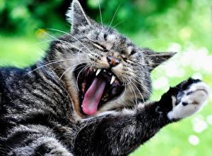 Обои Коты Клыки Языком Лап Зевают