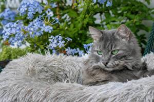 Фотографии Кошки Смотрит Серая Животные