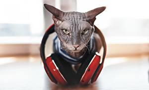 Фотографии Кошки Сфинкс кошка Наушники Хмурость Боке животное
