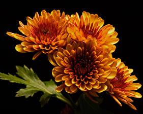 Обои для рабочего стола Хризантемы Вблизи На черном фоне Оранжевый Цветы