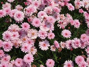 Картинки Хризантемы Много Розовая Цветы