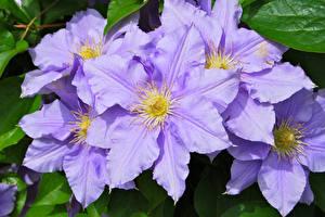 Фото Клематис Вблизи Фиолетовая цветок