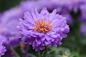 Фотография Крупным планом Астры Размытый фон Фиолетовые Цветы