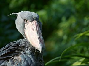 Фото Крупным планом Птица Боке Голова Клюв Shoebill Животные