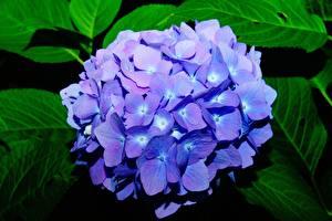 Фотография Вблизи Гортензия Размытый фон Синие цветок