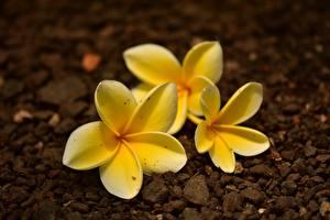 Обои Вблизи Плюмерия Желтая Боке цветок