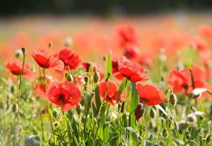Картинки Вблизи Мак Размытый фон Красная Бутон Цветы