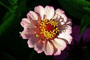 Обои Крупным планом Размытый фон Розовый Zinnia цветок