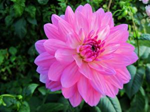 Обои Георгины Крупным планом Розовый Размытый фон Цветы