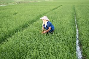 Картинка Поля Рис Работа Шляпа Vietnamese Природа