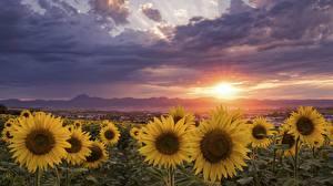 Картинки Поля Рассвет и закат Подсолнухи Облака цветок