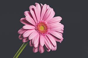 Картинка Герберы Крупным планом Сером фоне Розовая Цветы
