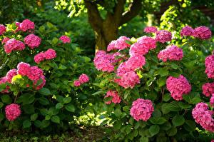 Обои Гортензия Кустов Розовых цветок