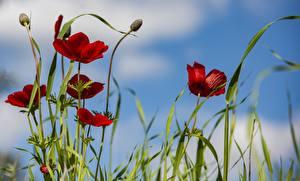 Фотография Мак Бутон Красная цветок