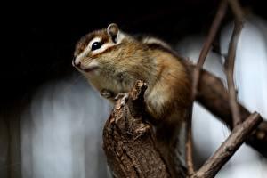 Фото Грызуны Бурундуки Боке Ветвь животное