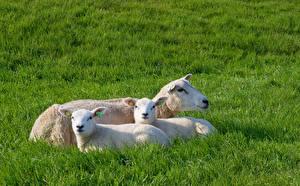 Фотографии Овцы Детеныши Втроем Смотрит Лежа Траве животное