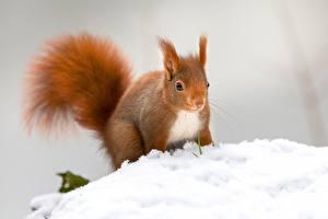 Фотографии Белка Грызуны Рыжая Снега Боке