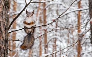 Картинки Белка Зимние Ветка Животные