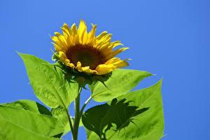 Картинка Подсолнухи Крупным планом Желтые Листва цветок