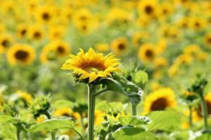 Картинка Подсолнечник Много Размытый фон Желтая цветок