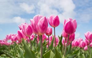 Картинка Тюльпаны Поля Розовые Цветы