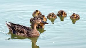 Фотографии Вода Птицы Утки Птенцы животное