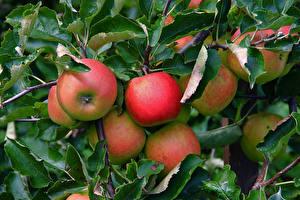 Фото Яблоки Крупным планом Ветки Листья Продукты питания