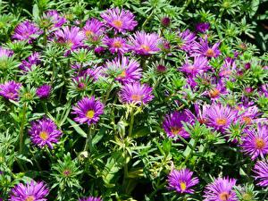 Картинки Астры Много Фиолетовый цветок