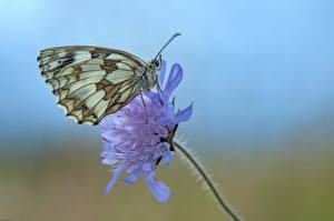 Фото Бабочка Насекомые Крупным планом Marbled White