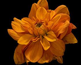 Фото Хризантемы Вблизи На черном фоне Оранжевая цветок