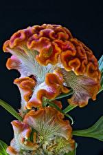 Картинки Вблизи На черном фоне Celosia Cristata цветок