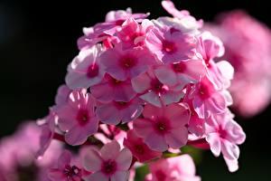 Картинка Крупным планом Флоксы Размытый фон Розовые Цветы