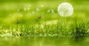 Картинки Одуванчики Божьи коровки Траве цветок