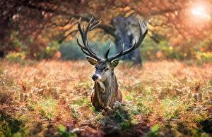 Фотографии Олени С рогами Животные