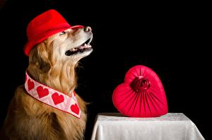 Фотографии Собака Золотистый ретривер Шляпы Сердечко