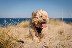 Картинки Собаки Трава Песка Язык (анатомия) Tibetan terrier животное