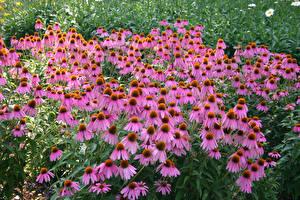 Фото Эхинацея Много Розовая Цветы
